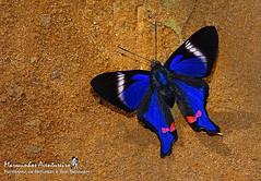 Borboleta - Rhetus periander (Cramer, 1777) - macho (male) (Marquinhos Aventureiro) Tags: wildlife vida selvagem natureza floresta brasil brazil hx400 marquinhos aventureiro marquinhosaventureiro borboleta butterfly rhetus periander riodinidae macho male adventure nature
