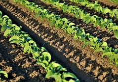 June28Image3215 (Michael T. Morales) Tags: lettuce leaflettuce rows furrows farm green montereycounty shadows salinasvalley