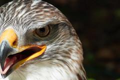 DSC02285 (Jan Netherlands) Tags: kingbuzzard macro sony king buzzard nature birds animals