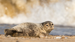 is this my good side? (KevinBJensen) Tags: rock cave cliff seal grey common wildlife nature animal sea sealife waves uk beach cute fluffy