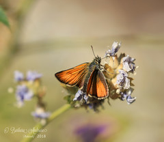 small skipper (~ **Barbara ** ~) Tags: butterfly skipper largewhite garden home uk flowers pollen nectar hot sunny canon7dii
