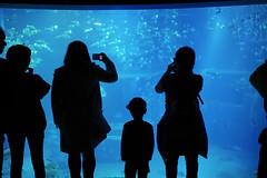 You're All Surrounded (Angelk32) Tags: underwater aquarium kaiyukan osaka japan asia travel silhouette fish marinelife blue glowing 17mmf18 primelens em10 olympus mirrorless microfourthirds child schooloffish