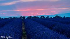 Lavandin en fleur (MarcEnGalerie) Tags: coucherdesoleil hdr flowers lavender lavande sunset fleurs valensole provence france fra