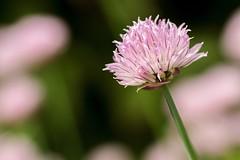 Chives (Karen_Chappell) Tags: chives purple pink pastel bokeh macro nature garden flower floral green botanicalgardens newfoundland nfld stjohns canada atlanticcanada avalonpeninsula eastcoast summer