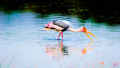 Painted Stork (@LeFraming) Tags: birding birds billed backwater beauty painted stork hue water white chennai covelong crane club canon ngc