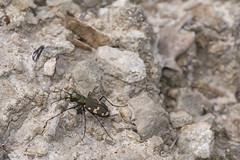 Cicindela sylvicola (Makromaus_Ahrweiler) Tags: cicindelasylvicola bergsandlaufkäfer carabidae laufkäfer coleoptera käfer makro macro naturaufnahme nature