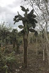 Opuntia echios var. inermis - Isla Isabela, Galapagos, Ecuador - July 7, 2018 (mango verde) Tags: treepricklypear opuntiaechiosvarinermis cactaceae opuntia echios cactus pricklypear inermis opuntiaechios cerroorchilla islaisabela galapagos ecuador mangoverde