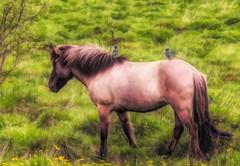 From Iceland. (Tóta. 27.12.1964.) Tags: horse birds grass tree natureiceland iceland ísland