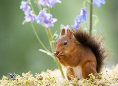 Red squirrel in front of a Delphinium (Geert Weggen) Tags: beauty blossom blue closeup colorimage delphinium extremecloseup field flower flowerhead flowerbed fragility greencolor growth herb leaf multicolored nature nopeople outdoors perennial petal photography plant publicpark scenicsnature season spice springtime summer vertical vibrantcolor eurasianredsquirrel autumn animalwildlife animalsinthewild winter woodland squirrel rodent mammal garden split spread yoga reaching bispgården jämtland sweden geert weggen ragunda
