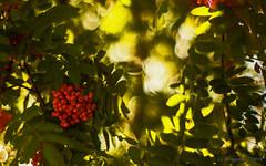 Vogelbeeren (günter mengedoth) Tags: vogelbeeren porst color reflex auto mc 55 mm f 12 porstcolorreflexautomc55mmf12 pentaxk1 pentax k1 manuell bokeh vintagelens beeren baum blatt ast sorbusaucuparia eberesche sorbus aucuparia