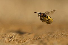 European Beewolf (Daniel Trim) Tags: beewolf bee wolf flying with prey cargo flight philanthus aculeata crabronidae european hymenoptera triangulum wasp arthropod arthropoda beeeating