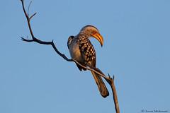 Southern Yellow-billed Honbill (leendert3) Tags: leonmolenaar southafrica krugernationalpark wildlife nature birds southernyellowbilledhornbill ngc npc coth5