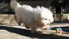 Et pan ! (guy dhotel) Tags: chien dog playing jeu balle bawl