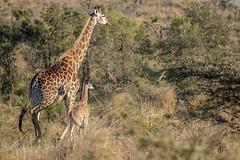 Giraffes - Zimanga -South-Africa (wietsej) Tags: giraffes zimanga southafrica rx10iv rx10m4 sony nature animal rx10 iv