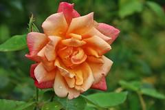 Rose (Hugo von Schreck) Tags: hugovonschreck rose flower blume blüte macro makro canoneos5dsr tamron28300mmf3563divcpzda010 givemefive