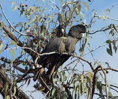 Cuddling Cockies,Go away this is private. (ron_n_beths pics) Tags: westernaustralia perthbushlands birds blackcockatoo calyptorhychus