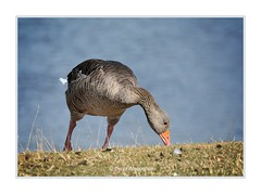 GREYLAG GOOSE FEEDING (Lucky Del) Tags: derekmonaghan greylaggoose wildlife bird nature feeding