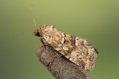 Photedes minima (NakaRB) Tags: 2017 insecta lepidoptera noctuidae photedesminima