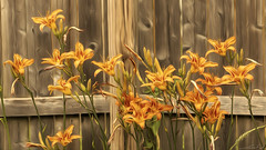 Orange Lilies - Impressionist Photography (elfinko1) Tags: impressionism impressionist photography lily lilies flower flowers floral orange green wooden fence bloom nature natural outdoors garden art