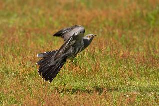 Colin the cuckoo at lift off