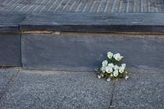 klein aber fein (dorothea knie) Tags: blume flower strase street strasenpflaster pavement