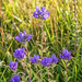 Clustered Bellflower (niloc's pic's) Tags: clusteredbellflower campanulaglomerata wildflower blue flower belletout southdowns eastsussex panasonic lumix dmcgh4r