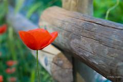 L'amour est une fleur que l'on se doit d'entretenir (John Lennon) (Peter Jaspers) Tags: frompeterj© 2018 olympus zuiko omd em10 1240mm28 dof bokeh france frence bonnieux luberon provence paca poppy fence fenced hff happyfencefriday clôture coquelicot