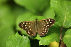 SPECKLED WOOD (tony.cox27) Tags: butterfly speckled wood