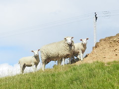 Watching you, Kirkwall, Orkney Islands, June 2018 (allanmaciver) Tags: sheep ewe lambs animals telegraph pole grass height watching stop who orkney islands scotland north allanmaciver