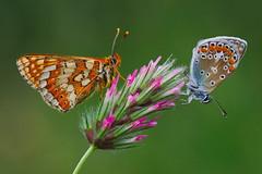 Euphydryas aurinia and Polyommates icarus (JoseDelgar) Tags: insecto mariposa polyommatesicarus euphydryasaurinia 425857258732811 josedelgar naturethroughthelens coth coth5 alittlebeauty fantasticnature ngc npc