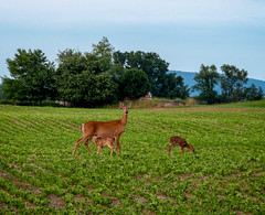 Two fawns with their mother. (Dave_Bradley) Tags: deer family nature outdoor fawns baby animals wildlife olympus pennsylvania usa trees tree farm