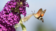 DSC_1030 Sphinx (sylvettet) Tags: 2018 papillon butterfly sphinx flowers fleurs nikon buddleia