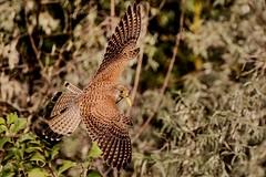 Kestrel with Breakfast (Phil Gower Bird Photography) Tags: flight wildlife nature birdofprey ornithology kestrel