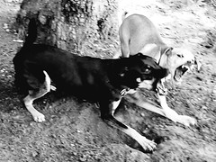 Discussing Politics II (RasMarley) Tags: dogs dog running park run photography bw blackwhite new jersey monroe playing