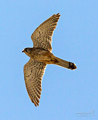 Palma 27 June 2018 00073.jpg (JamesPDeans.co.uk) Tags: raptor kestrel forthemanwhohaseverything spain majorca palma nature printsforsale birds wwwjamespdeanscouk jamespdeansphotography landscapeforwalls europe mallorca digitaldownloadsforlicence