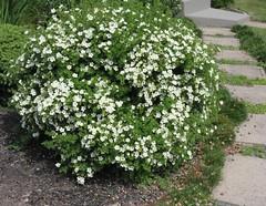 ** La potentille ** (Impatience_1(retour progressif)) Tags: potentille potentilla cinquefoil arbuste shrub plante plant fleur flower m impatience wonderfulworldofflowers supershot coth coth5 alittlebeauty sunrays5