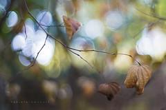 Autumn feelings (Daniela Romanesi) Tags: 4219 autumn outono leaf leaves sky colors colorido céucolorido tonsterrosos gentletones aoarlivre carlzeiss folhaseca