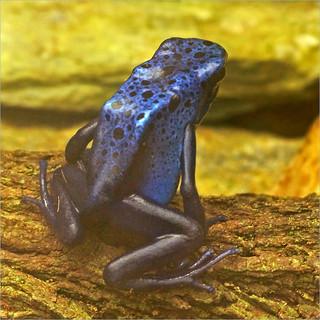 Rare blue poison dart frog