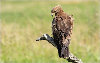 Aigle criard / Greater Spotted Eagle