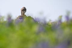 Skomer Island-2 (DoctorTimbo) Tags: skomer skomerisland wales owl shortearedowl
