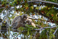 Giving some advice (ChicagoBob46) Tags: greathornedowl owl owlet owlets yellowstone yellowstonenationalpark nature wildlife naturethroughthelens coth5 ngc