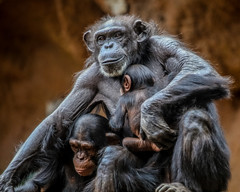 Fathers are just as loving a mothers (Paul Wrights Reserved) Tags: monkey monkeys ape apes chimpanzee chimpanzees chimp chimps father dad children child baby babies siblings family togetherness