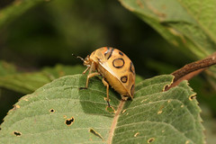 Sphaerocoris annulus ♀ (Picasso bug) - Entebbe Uganda (Nick Dean1) Tags: sphaerocorisannulus bug picassobug animalia arthropoda arthropod hexapoda hexapod insect insecta hemiptera pentatomidae scutelleridae uganda entebbe lakevictoria