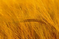brewers gold (murtica27) Tags: macro getreide gerste barley grain summer sunset harvest plant field landwirtschaft agrar countryside theme scenery yellow orange monochrome patterns sony alpha saxony
