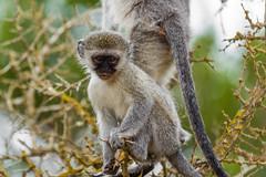South_Arica_2018_36 (s4rgon) Tags: addoelephantnationalpark addoelephantpark animals gardenroute natur nature southafrica südafrika tiere vervetmeerkatze vervetmonkey