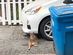Why Am I Here? (Jill Clardy) Tags: cat fat sidewalk garbage can hanging out 365the2018edition 3652018 day187365 06jul18