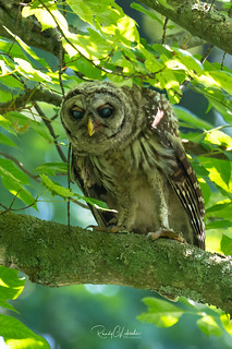 Barred Owl - Strix varia | 2018 - 3