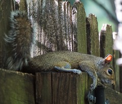 Comfortable Fence (ironicdream) Tags: fence fencedfriday hff fauna sony a6000 backyard nature squirrel