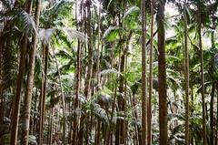 Palm Tree Rain Forest (-Sambo) Tags: ae1 program 35mm 35 mm kodak gold 400 australia july springbrook national park rainforest