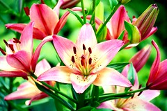 Royal Blessings (barbara_donders) Tags: natuur nature summer zomer macro lelie lily pink roze bouquet mooi prachtig beautiful magical